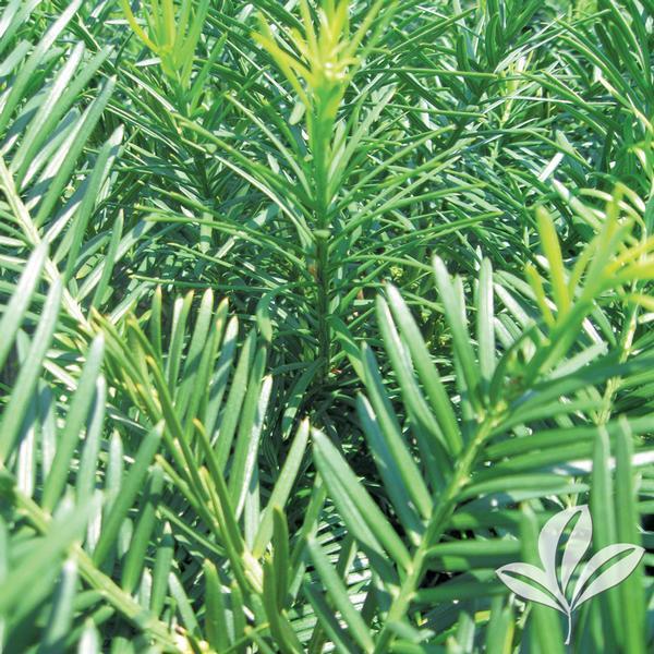 Cephalotaxus Harringtonia 39 Duke Gardens 39 Duke Gardens Plum Yew From Greenleaf Nursery
