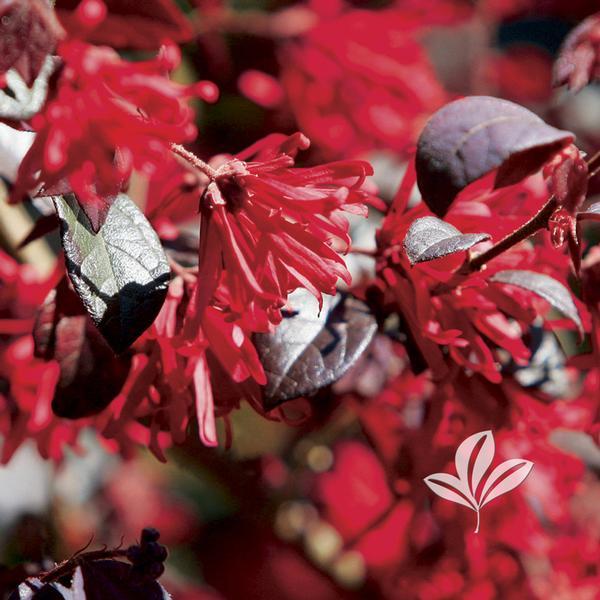 Ever Red Ever Red(r Loropetalum