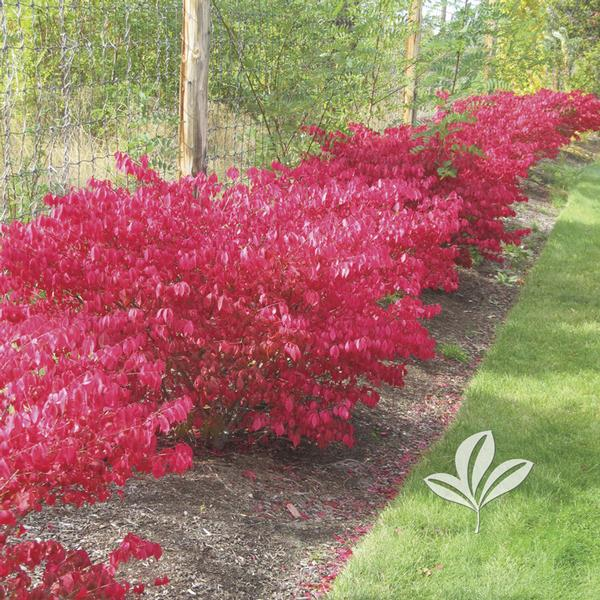 euonymus alatus 39 compactus 39 dwarf burning bush tree form. Black Bedroom Furniture Sets. Home Design Ideas