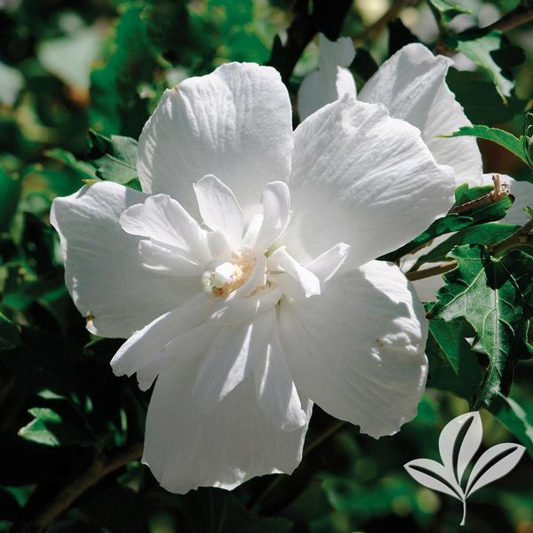 Hibiscus Hibiscus Syriacus Notwoodtwo White Chiffonr Althea Tree