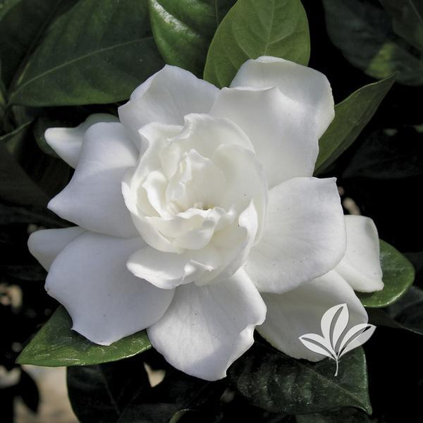 Lovely Gardenia Jasminoides U0027August Beautyu0027 AUGUST BEAUTY GARDENIA From Greenleaf  Nursery