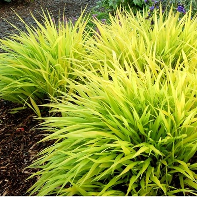 Hakonechloa macra 39 all gold 39 all gold japanese forest for Tall ornamental grasses that grow in shade