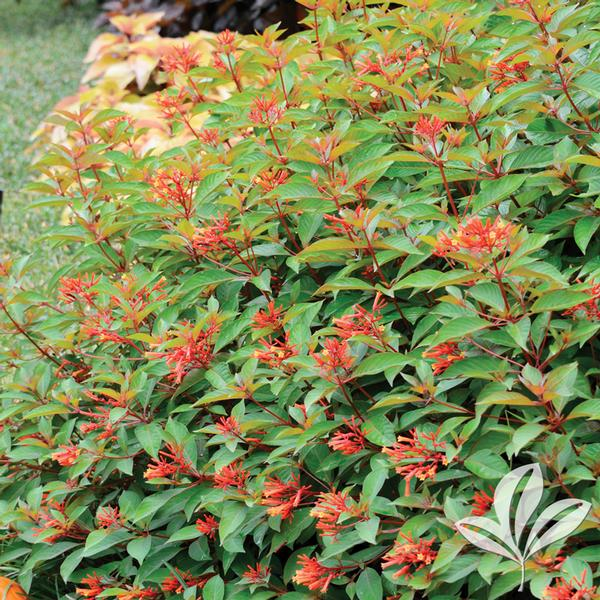 Garden Bush: Hamelia Hamelia Patens FIREBUSH From Greenleaf Nursery