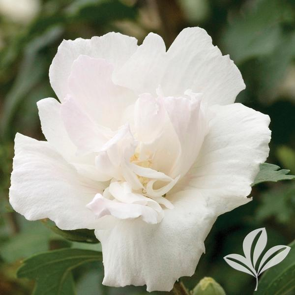 Hibiscus Syriacus Jeanne D Arc Double White Althea Tree