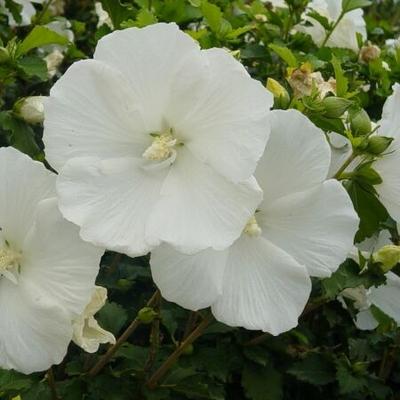 Hibiscus Hibiscus Syriacus Diana Diana Single White Althea From