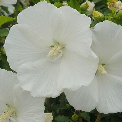 Hibiscus Syriacus Diana Diana Single White Althea Tree From