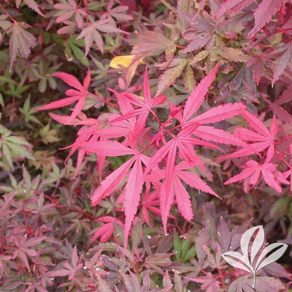 Acer Palmatum Skeeters Broom Skeeters Broom Japanese Maple From