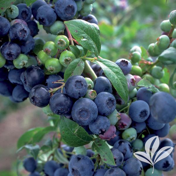 Vaccinium Vaccinium Corymbosum Bluecrop Bluecrop