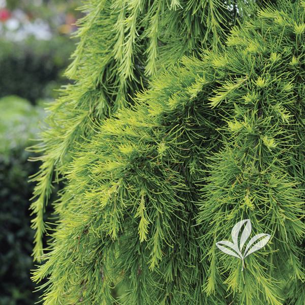 Deodara aurea golden deodar cedar this pyramidal deodar cedar grows to