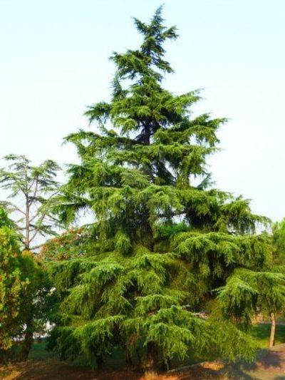 Deodar Cedar Tree Varieties ~ Cedrus deodara deodar cedar from greenleaf nursery