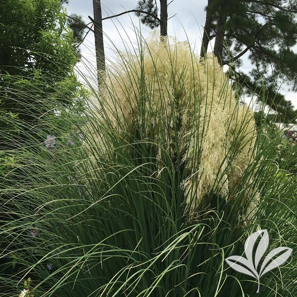 cortaderia selloana 39 pumila 39 jet streams tm dwarf pampas. Black Bedroom Furniture Sets. Home Design Ideas