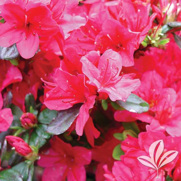 Rhododendron Kurume X Hino Crimson Hino Crimson Kurume