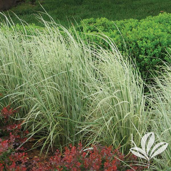calamagrostis x acutiflora 39 overdam 39 overdam feather reed grass from greenleaf nursery. Black Bedroom Furniture Sets. Home Design Ideas
