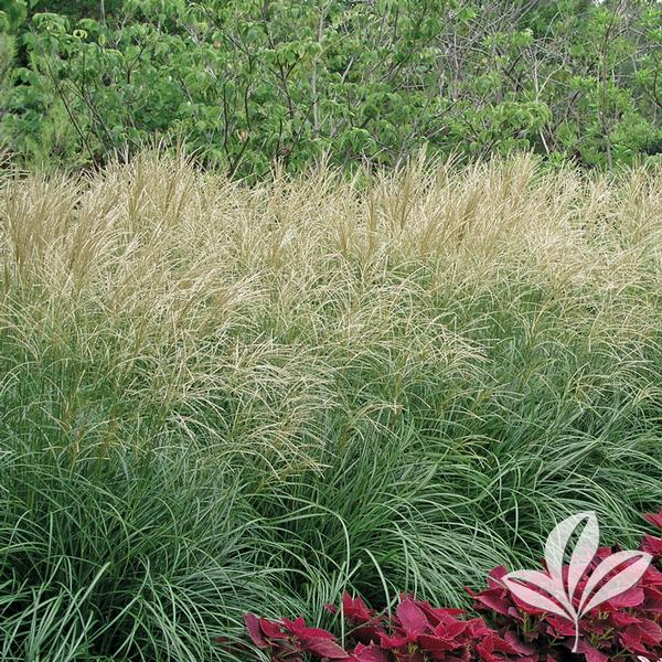miscanthus sinensis 39 gracillimus 39 maiden grass from greenleaf nursery. Black Bedroom Furniture Sets. Home Design Ideas
