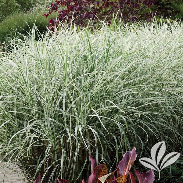 Miscanthus sinensis 39 variegatus 39 variegated japanese for Tall oriental grass