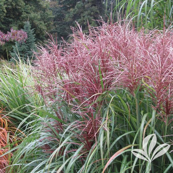 Miscanthus sinensis 39 morning light 39 morning light maiden for Tall thin ornamental grasses