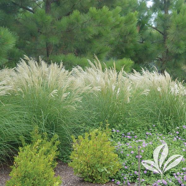 Greenleaf nursery for Maiden grass
