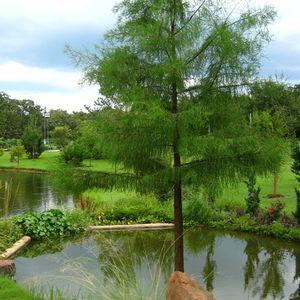 Taxodium Ascendens Sooner Sooner Pond Cypress From