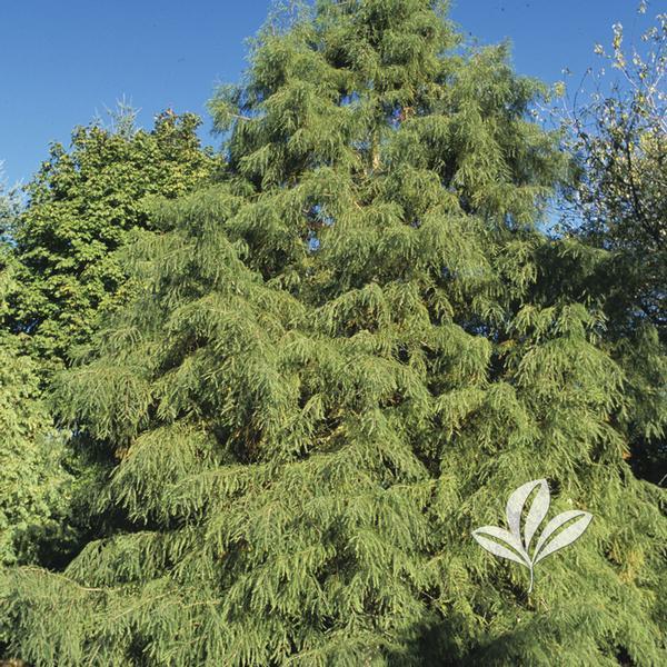 Taxodium Distichum Mickelson Shawnee Brave R Bald