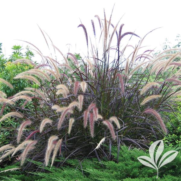 Pennisetum setaceum atropurpurea purple fountain grass for Ornamental grass with purple plumes