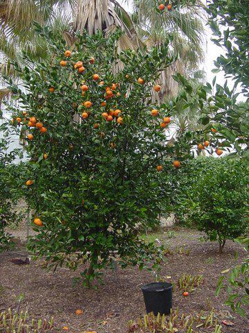 Citrus Citrus Reticulata Gremoy47 Orange Frosttm Hardy