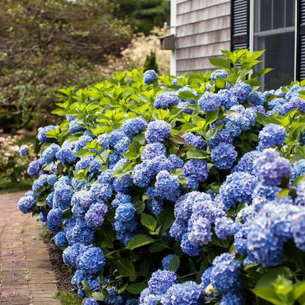 hydrangea macrophylla 39 bailmer 39 endless summer r. Black Bedroom Furniture Sets. Home Design Ideas