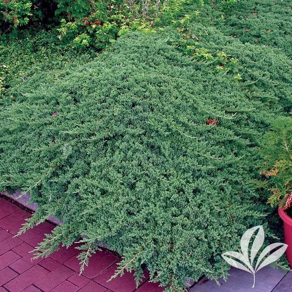 Juniperus Juniperus Procumbens 'Greenmound' GREENMOUND
