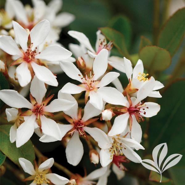 Rhaphiolepis Indica Snow White Snow White Indian Hawthorn From