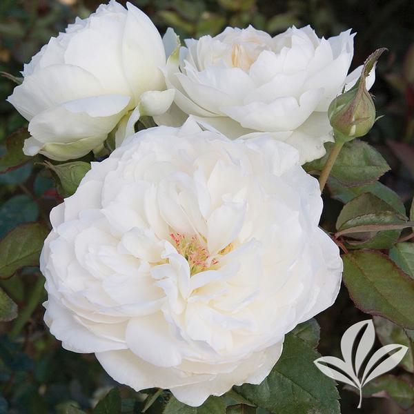 rosa 39 meicoublan 39 white meidiland r rose from greenleaf. Black Bedroom Furniture Sets. Home Design Ideas