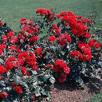 Rose Bush Prices