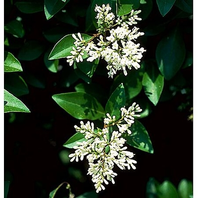 ligustrum vulgare 39 lodense 39 lodense privet from greenleaf. Black Bedroom Furniture Sets. Home Design Ideas
