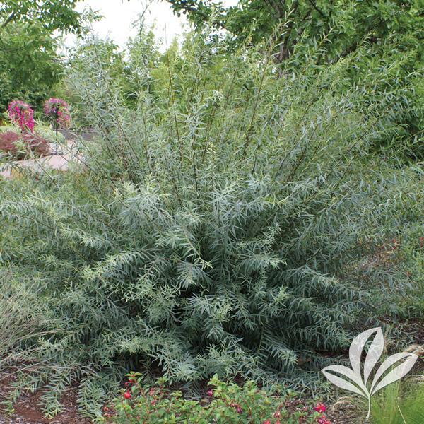 Salix Salix Purpurea Nana Dwarf Blue Arctic Willow From