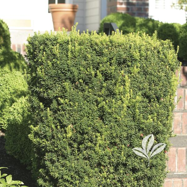 taxus x media 39 hicksii 39 hicksi yew from greenleaf nursery. Black Bedroom Furniture Sets. Home Design Ideas