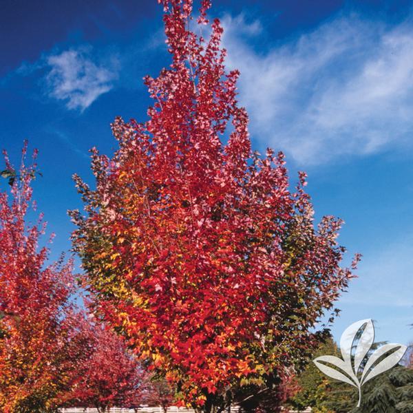 Acer Acer X Freemanii Jeffersred Autumn Blazer Maple From