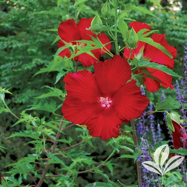 Hibiscus Hibiscus Lord Baltimore Lord Baltimore Hardy Hibiscus