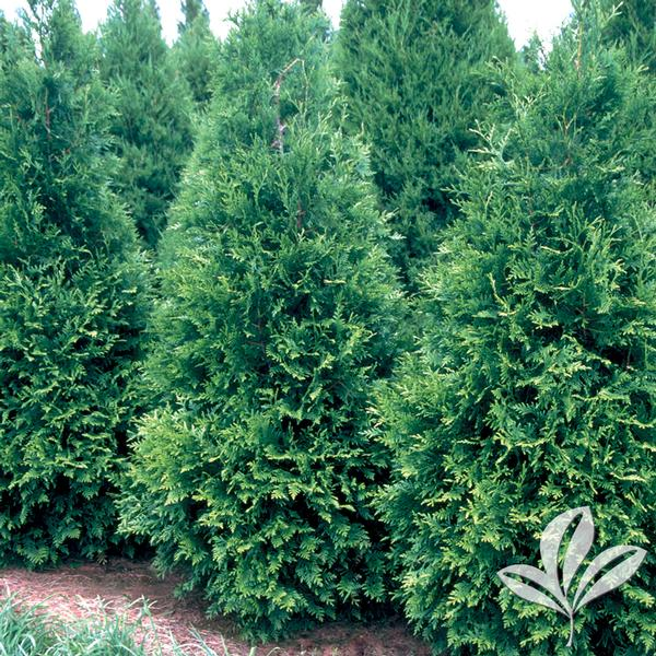 Thuja plicata 39 green giant 39 green giant arborvitae from for Green giant arborvitae