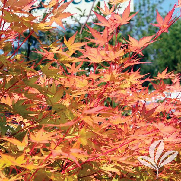 Acer Palmatum Sango Kaku C Bark Anese Maple From Greenleaf Nursery