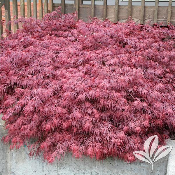 acer palmatum dissectum atropurpureum 39 ever red 39 ever red japanese maple from greenleaf nursery. Black Bedroom Furniture Sets. Home Design Ideas