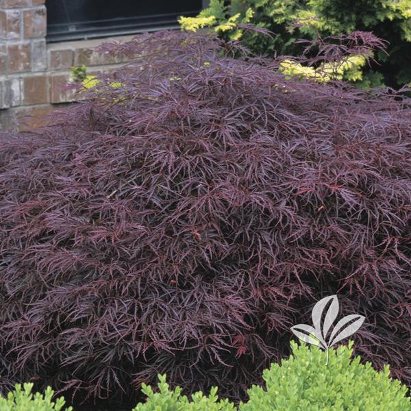 Acer Palmatum Dissectum Red Select Red Select Japanese Maple From