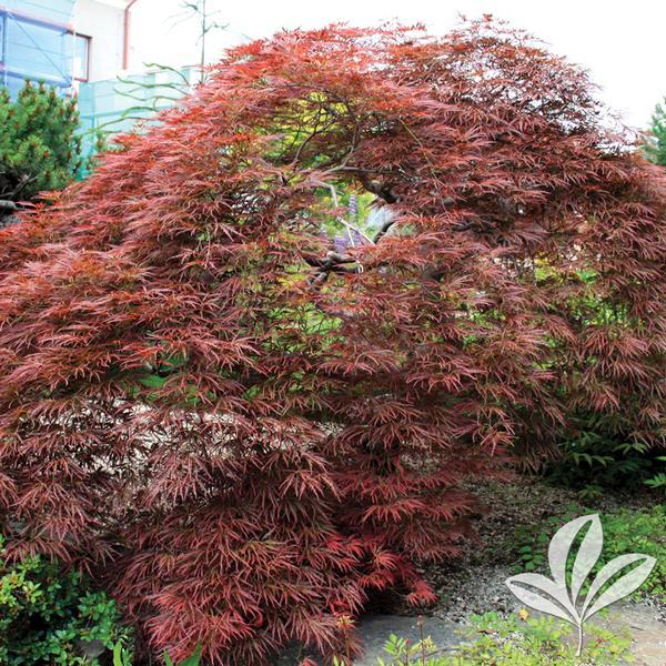 Acer Palmatum Dissectum Tamukeyama Tamukeyama Japanese Maple From