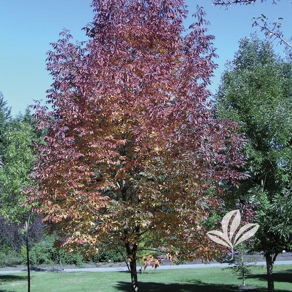 fraxinus fraxinus americana cv   u0026 39 junginger u0026 39  autumn purple