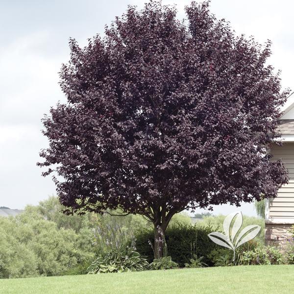 Prunus Prunus Cerasifera Krauters Vesuvius Krauter Vesuvius