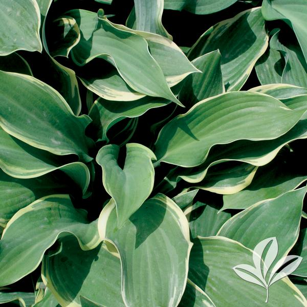 Hosta Hosta Regal Splendor Regal Splendor Hosta From Greenleaf Nursery