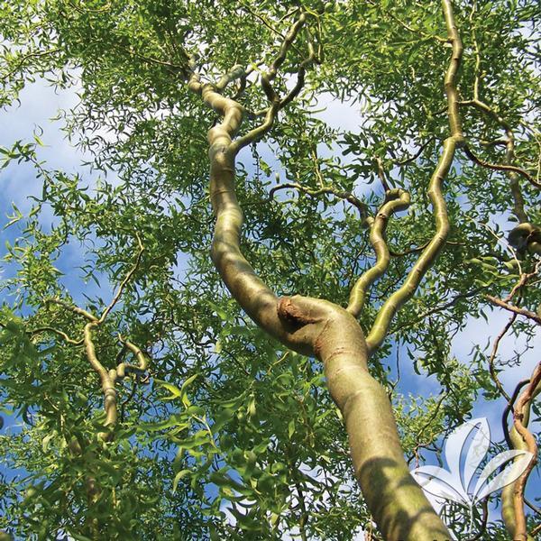 Salix Salix Matsudana Tortuosa Corkscrew Willow From