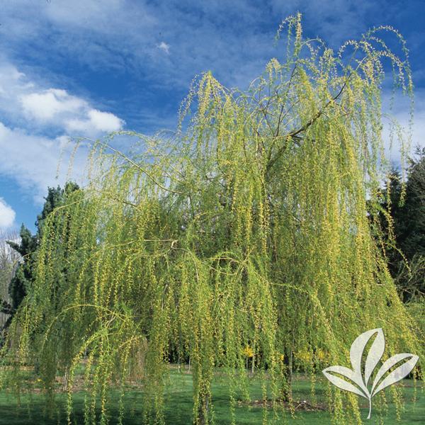 salix alba 39 tristis 39 golden weeping willow from greenleaf nursery. Black Bedroom Furniture Sets. Home Design Ideas