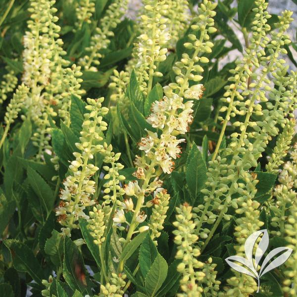 Clethra Alnifolia uk Clethra Alnifolia 'sixteen