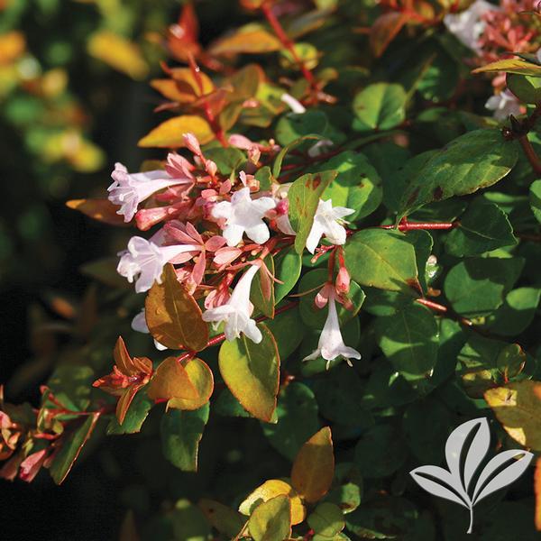 Abelia X Canyon Creek Canyon Creek Abelia From Greenleaf Nursery