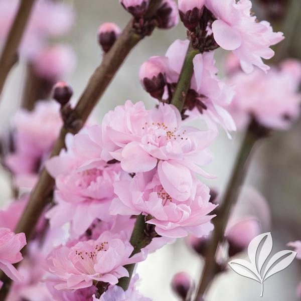 Prunus Persica Corinthian Pink Corinthian Pink Fl