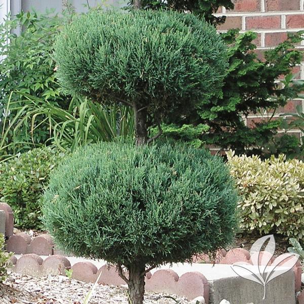Juniperus chinensis 'Blue Point' BLUE POINT JUNIPER 2-TIER POODLE