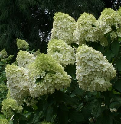 hydrangea paniculata 39 phantom 39 lime soda tm hydrangea from greenleaf nursery. Black Bedroom Furniture Sets. Home Design Ideas